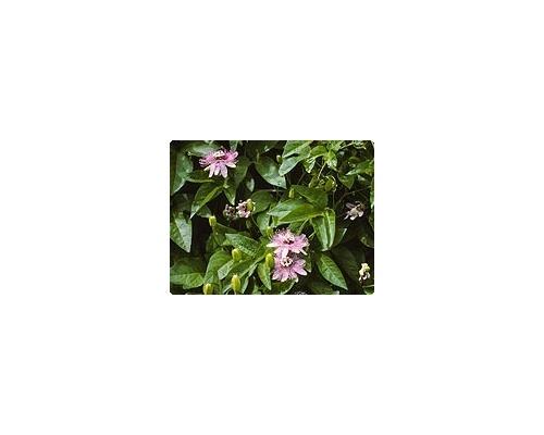 passiflora verarbeitung
